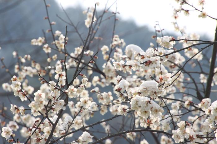 游超山赏梅花——贝利集团携手超山风景区陪您过大年